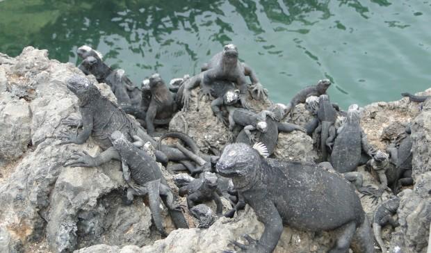 marineiguanygroup
