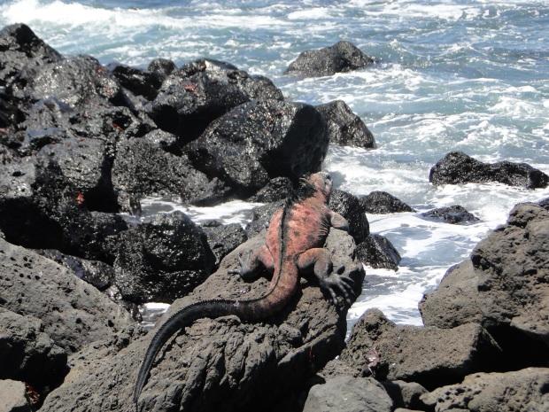 red mar iguana