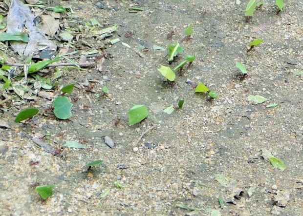 (leaf-cutter ants for Belize)
