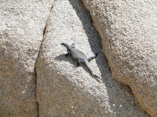 these lizards were commonly 12 inches long