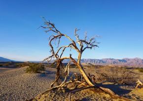 desert timber