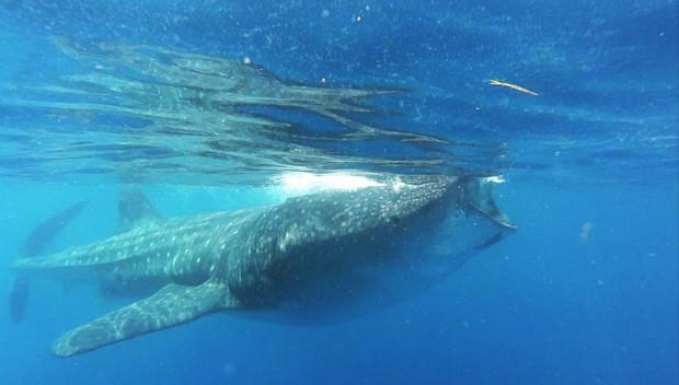 whaleshark2