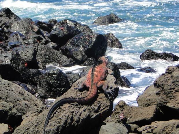 red mar iguana (2)